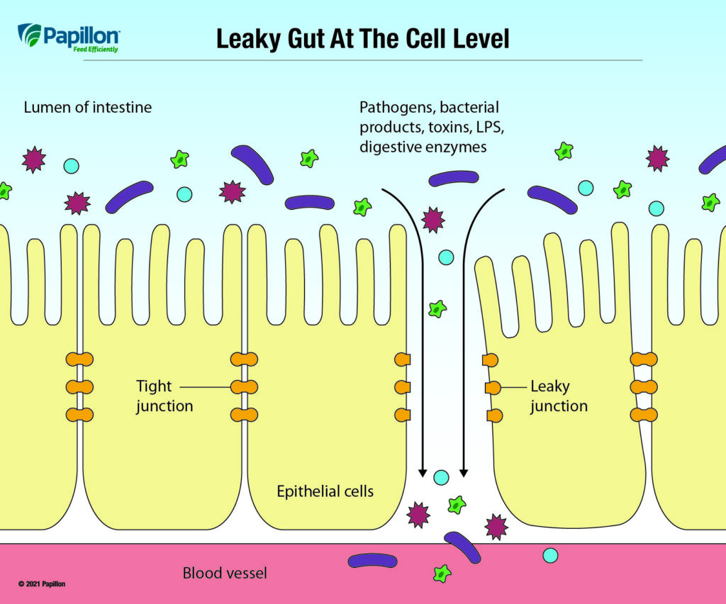Papillon- leaky gut at the cell level